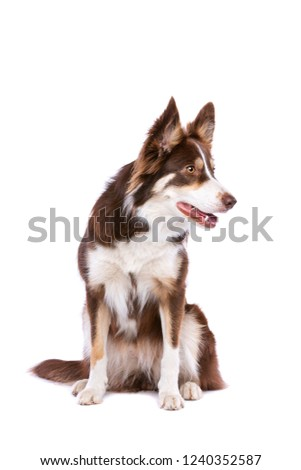 border collie dog in front of a white background #1240352587