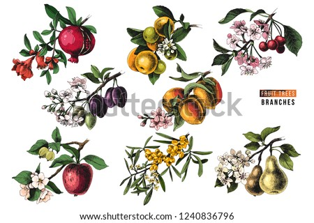 Fruit trees branches - pomegranate, mandarine, cherry, plum, peach, apple, sea buckthorn and pear - with flowers and ripe fruits. Vector illustration #1240836796