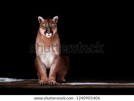 Portrait of Beautiful Puma, Puma in the dark. American cougar