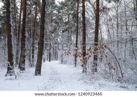 Winter snow forest. Snow lies on the branches of trees. Frosty snowy weather. Beautiful winter forest landscape. #1240923460