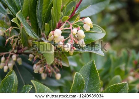 Strawberry Tree Flowers in Bloom #1240989034