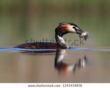 water bird on the lake (podiceps cristatus) #1241434858