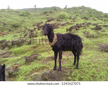 goat stand on hills in green enviornment. #1241627071