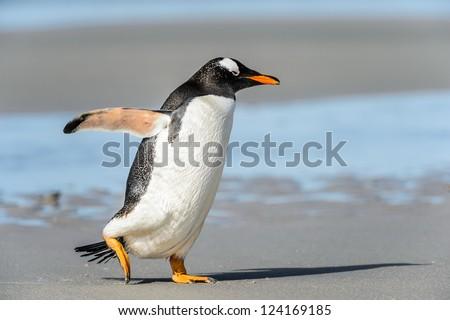 Gentoo penguin runs over the coast.  Falkland Islands, South Atlantic Ocean, British Overseas Territory