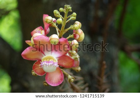 The flower of Cannonball Tree #1241715139