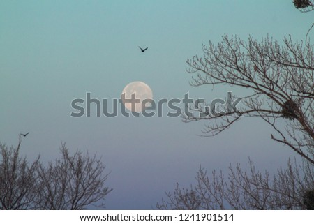 Beautiful morning sky with the big close up full moon before sunrise. Very romantic gentle dawn picture, with the poplar bare branches and real flying birds.