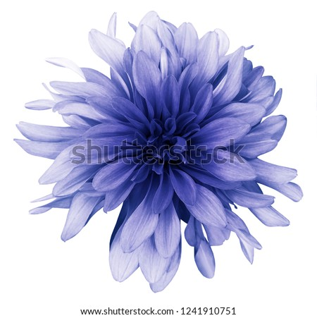 Blue dahlia  flower white  background isolated  with clipping path. Closeup. For design. Nature.  #1241910751