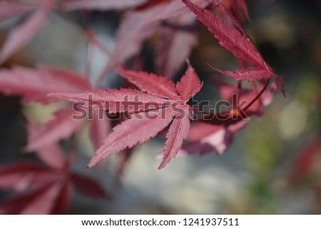 Purple Japanese maple - Latin name - Acer palmatum Atropurpureum #1241937511