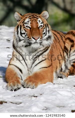 Tiger (Panthera tigris) lying in the snow #1241983540