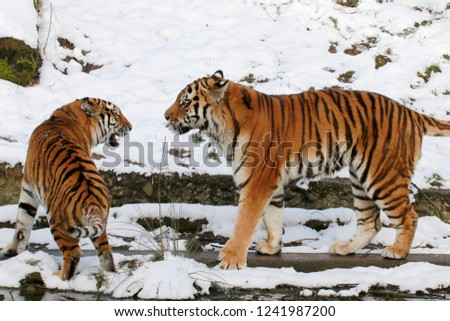 Tiger (Panthera tigris) couple in the snow #1241987200