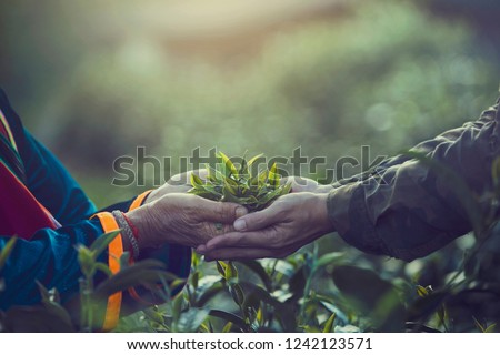 Women Hand finger picking up tea leaves at a tea plantation for product , Natural selected , Fresh tea leaves in tea farm in Chiang mai, Thailand. #1242123571