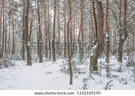 Winter in the Pine Forest. Nature in the vicinity of Pruzhany, Brest region,Belarus. #1242189190