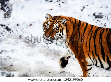 Beautiful Amur tiger on snow. Tiger in winter. Wildlife scene with danger animal. #1242199060