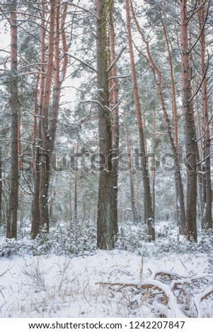 Winter in the Pine Forest. Nature in the vicinity of Pruzhany, Brest region,Belarus. #1242207847