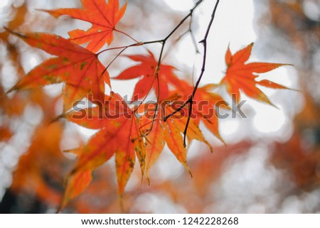 Red maple leaf #1242228268