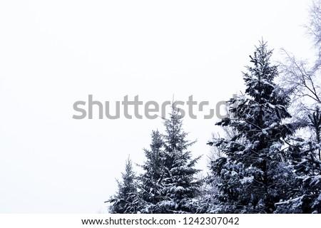 Snowy firs in Sweden #1242307042