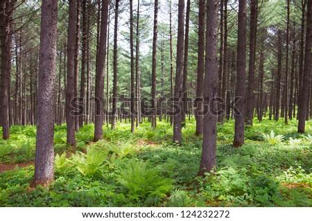 Korean pine forest in summer. #124232272