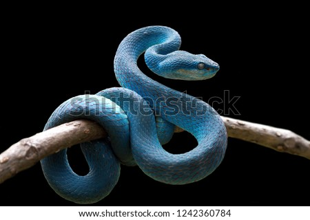 Blue viper snake on branch, viper snake, blue insularis, Trimeresurus Insularis #1242360784