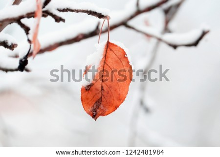 Beautiful branch with orange and yellow dry leaves in late fall or early winter under the snow. First snow, snow flakes fall, close-up. #1242481984