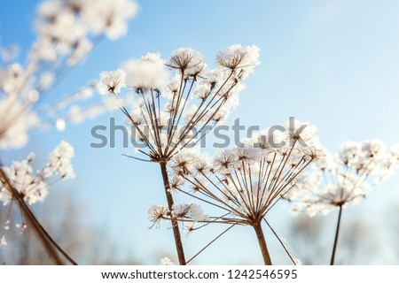 Frosty grass in snowy forest, cold weather in sunny morning. Tranquil winter nature in sunlight. Inspirational natural winter garden, park. Peaceful cool ecology landscape background #1242546595