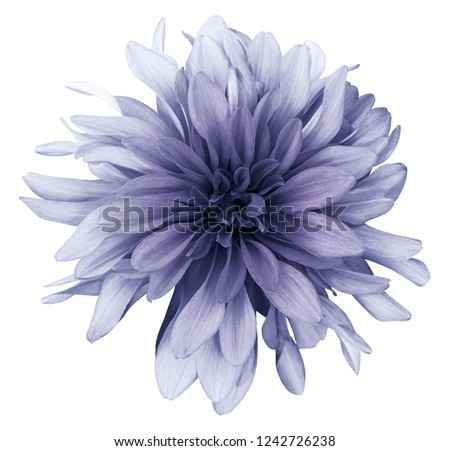 Violet dahlia  flower white  background isolated  with clipping path. Closeup. For design. Nature.  #1242726238