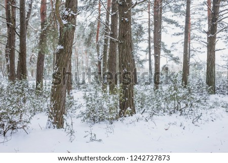 Winter in the Pine Forest. Nature in the vicinity of Pruzhany, Brest region,Belarus. #1242727873
