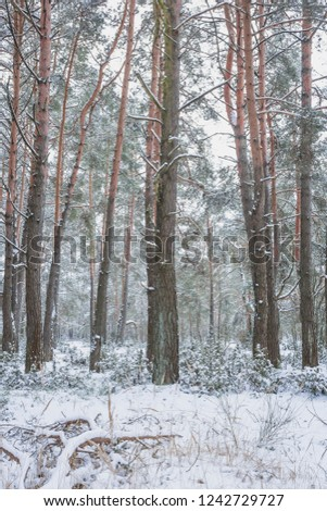 Winter in the Pine Forest. Nature in the vicinity of Pruzhany, Brest region,Belarus. #1242729727