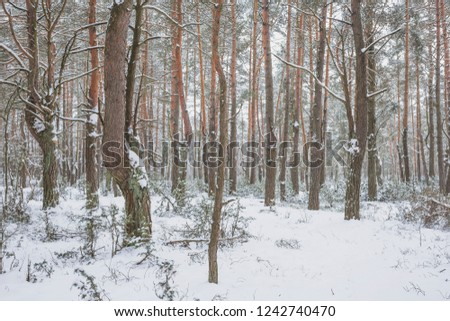 Winter in the Pine Forest. Nature in the vicinity of Pruzhany, Brest region,Belarus. #1242740470