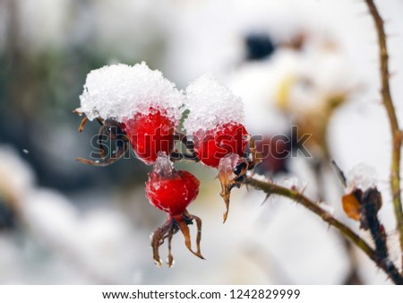 wild rose in  snow. Red rosehip berries covered with snow and ice on  frosty winter morning. #1242829999
