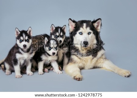 Black dog breed Husky and puppies. Moms Husky and puppies on a gray background. Puppies with blue eyes. #1242978775