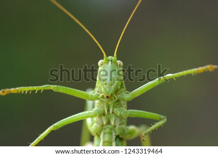 Locust. Green Locust. Adult locust close up
