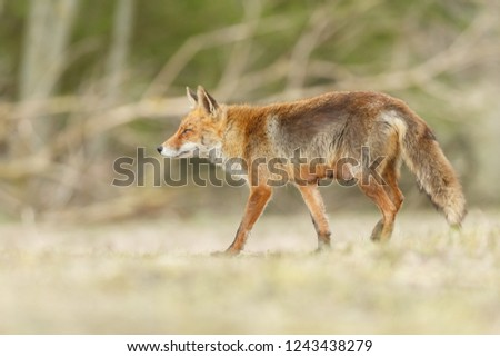 Beautiful red fox in nature #1243438279