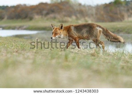 Beautiful red fox in nature #1243438303