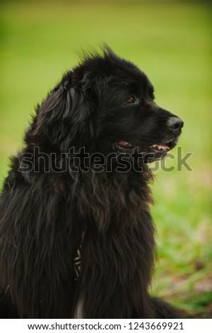 Newfoundland, dog life #1243669921