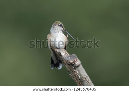 Ruby-throated Hummingbird perched in the garden cleaning his beak. #1243678435