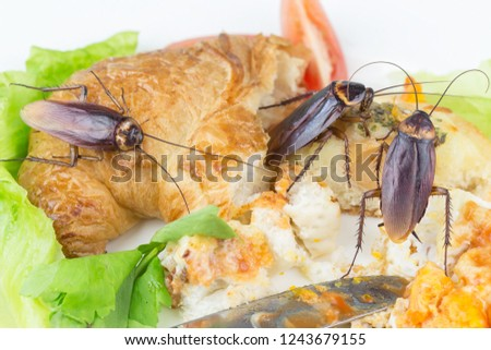 The problem in the house because of cockroaches living in the kitchen. Cockroach eating whole wheat bread on white background(Isolated background). Cockroaches are carriers of the disease.