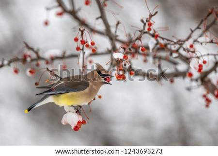 Cedar waxwing bird in a berry tree #1243693273