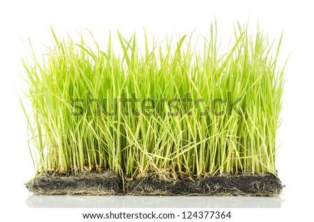 Fresh spring green grass on white background #124377364