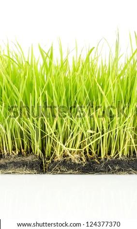 Fresh spring green grass on white background #124377370
