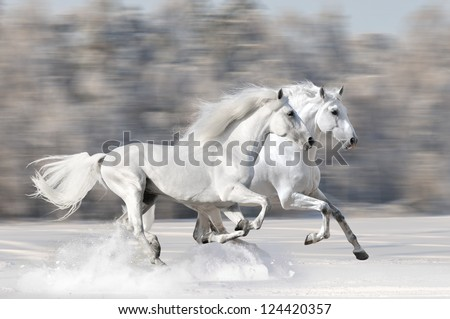 Two white horses in winter run gallop fast #124420357