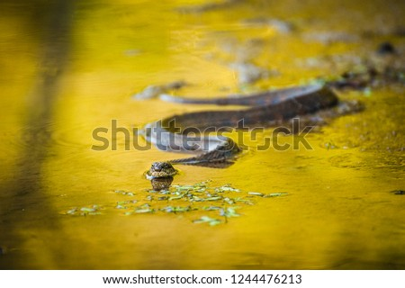 water snake swimming in a marsh #1244476213
