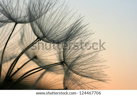 Close up of a dandelion in the evening sky