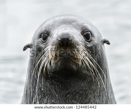 Intense look of an Atlantic seal. South Georgia, South Atlantic Ocean.