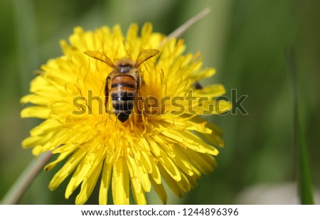 threatened with extinction - small honey bee collects pollen on dandelion #1244896396