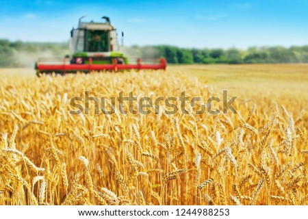 Combine harvester harvests ripe wheat. agriculture  #1244988253