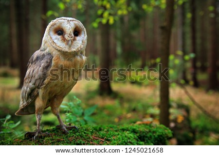 Barn owl, Tyto alba, sitting on the green moss stone in forest at the evening - photo with wide lens including habitat. Wildlife scene in nature habitat. Bird with forest and grass meadow. #1245021658