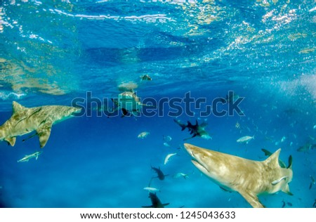 Picture shows a Lemon shark at the Bahamas #1245043633