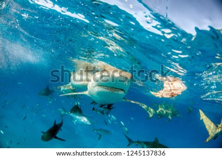 Picture shows a Lemon shark at the Bahamas #1245137836