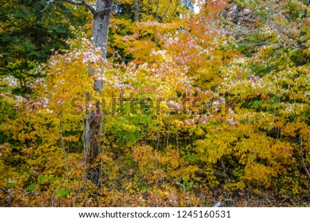 Michigan Autumn Forest Background. Beautiful vibrant fall foliage with a dusting of fresh fallen snow in the northern woods of the Upper Peninsula in Michigan. #1245160531