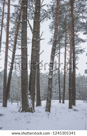 Winter in the Pine Forest. Nature in the vicinity of Pruzhany, Brest region,Belarus. #1245305341